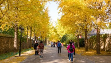 Photo of Dvokrpi ginko (Ginkgo biloba L.)