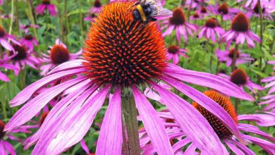 Photo of Ameriški slamnik (Echinacea purpurea)