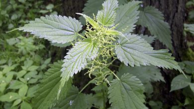 Photo of Velika kopriva (Urtica dioica)